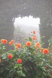 Dahlia 'Happy Halloween' in the vegetable garden