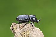 Rhinoceros Beetle - Sinodendron cylindricum