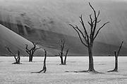 Close to Sossusvlei in the Namib Desert, Deadvlei is a white clay pan characterized by 1000 year old dead camel thorn acacia trees, black and white,Deadvlei, Namibia
