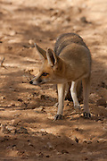 Israel, Arava Desert, Rueppell's fox and also called the sand fox (Vulpes rueppellii)