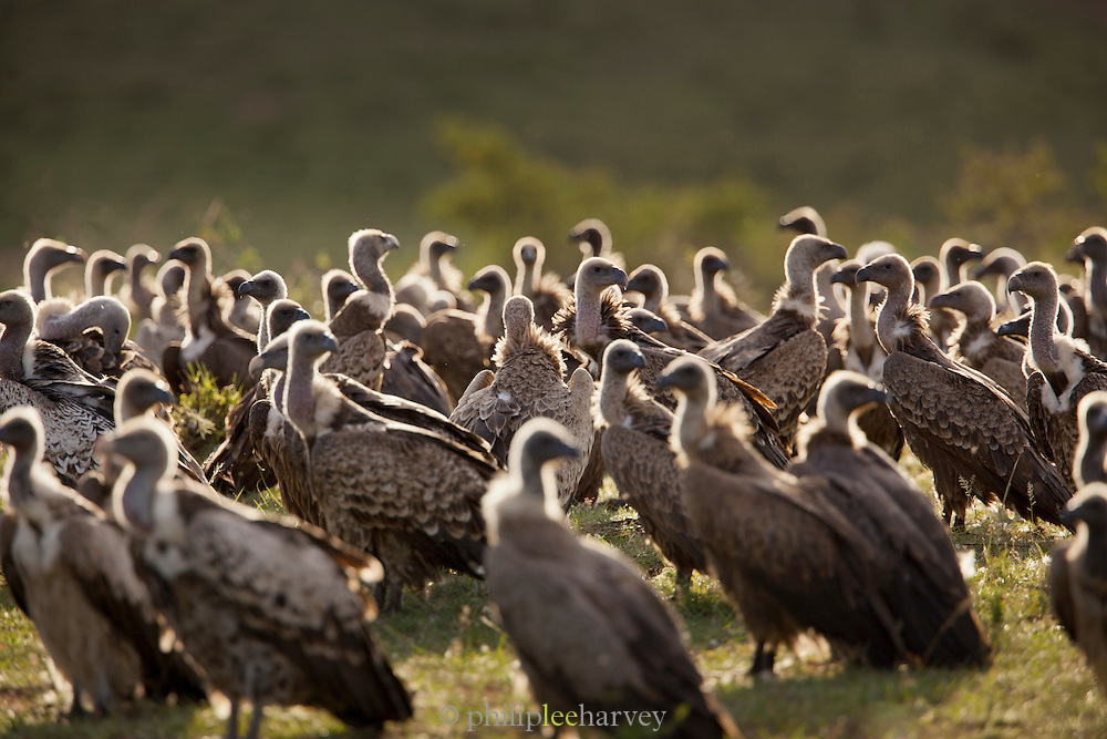Vultures wait in the early morning to scavange on a kill being protected by a lioness in Cottars Conservancy, Kenya