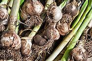 Freshly harvested garlic from Ben Nevis Farm, Shaw Island, WA