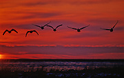 Canada Geese in flight at sunset over snow covered field - Delaware