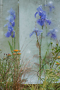 Flowers embedded in ice on Gardens for Good: The Power t0 make a difference garden - The Hampton Court Flower Show, organised by the Royal Horticultural Society (RHS). In the grounds of the Hampton Court Palace, London.