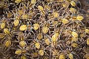 Nest of raft spiderlings (Dolomedes fimbriatus). Arne, Dorset, UK.