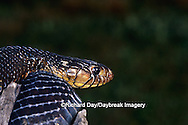 02811-00120 Texas Indigo Snake (Drymarchon corais erebennus) Starr Co. TX