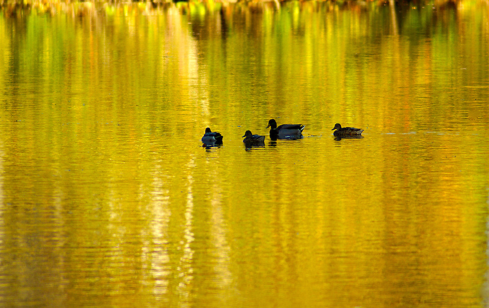 Gring's Mill, Tulpehocken River, Berk's County, Pennsylvania, ducks