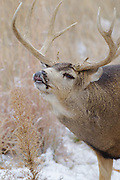 Stock Photo of Mule Deer captured in Colorado.  During the fall rut, mule deer bucks will compete with each other for does who are in estrus.