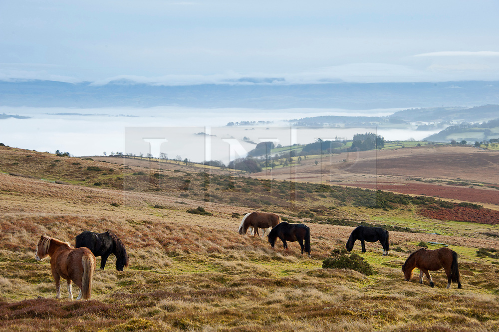 © Licensed to London News Pictures. 17/12/2019. Builth Wells, Powys, UK. Welsh mountain ponies graze above the clouds on the Mynydd Epynt range near Builth Wells in Powys after temperatures dropped  to below freezing last night. Photo credit: Graham M. Lawrence/LNP