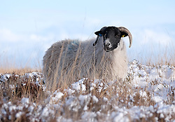 © Licensed to London News Pictures. <br /> 29/01/2015. <br /> <br /> Danby, United Kingdom<br /> <br /> A sheep stands in snow covered heather on the moors near Danby in North Yorkshire. A wintery blast causing extremely cold weather is expected to cause some disruption over the next few days.<br /> <br /> Photo credit : Ian Forsyth/LNP