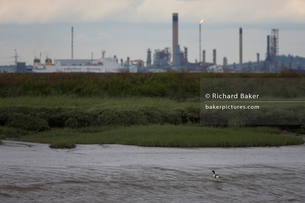 On Halstow Marshes, a Shelduck wades across low-tide estaury mud with a passing cargo ship and Coryton Refinery on River Thames