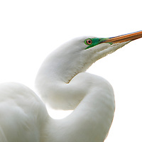 Close-up portrait of a wild great egret (Ardea alba) in breeding plumage highlighted against an overcast sky at the St. Augustine Alligator Farm Rookery, Anastasia Island, St. Augustine, Florida