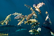 Sohal of cod (Gadus morhua) and a few Pollocks (Pollachius virens).
