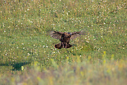 Eastern wild turkeys prepare to leave their roost and fly out to feed