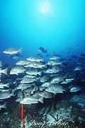 dog snappers, Lutjanus jocu, return to reef after spawning rush; note Nassau grouper in excited color phase in center, Belize barrier reef  ( Caribbean Sea )