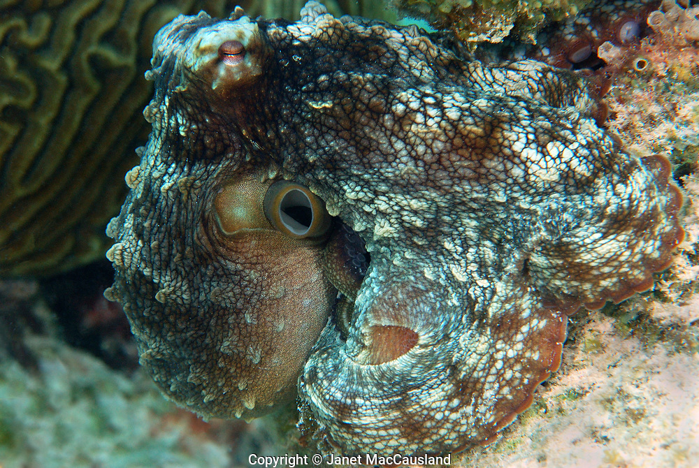 A Caribbean Octopus changes color instantly to match its' surroundings as it moves from place to place. This one is looking like the brain coral behind itself.