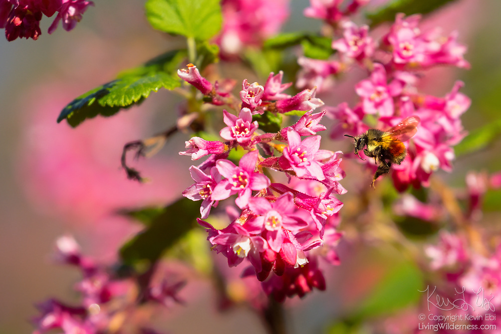 A honeybee (Apis mellifera) prepares to land on a flowering currant (Ribes sanguineum) to forage for pollen and nectar in Snohomish County, Washington.
