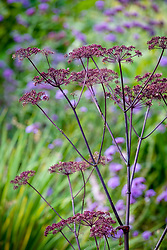 Angelica sylvestris 'Purpurea'
