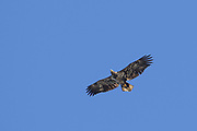 A young Bald Eagle glides across the landscape. The light feathers on its wing lining and across its belly are a good identification marks.