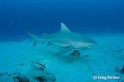 bull shark, Carcharhinus leucas, female in seasonal breeding aggregation, with fish hook in mouth, Playa del Carmen, Cancun, Quintana Roo, Yucatan Peninsula, Mexico ( Caribbean Sea )