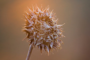 A dried, prickly flower stalk glows in the evening sun in Teton Valley, Idaho.