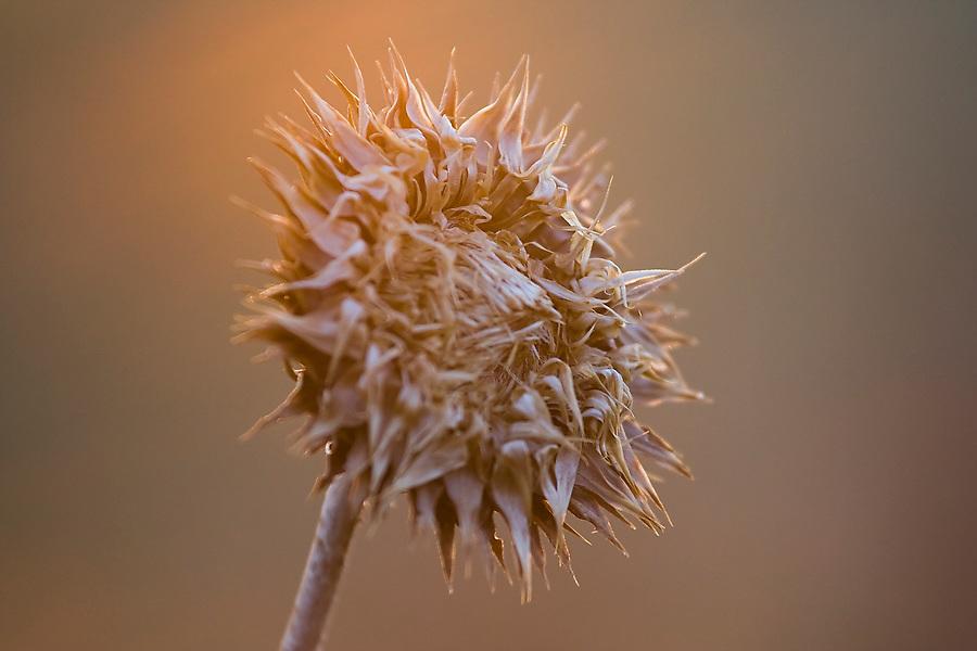 A dried, prickly flower stalk glows in the evening sun in Teton Valley, Idaho.