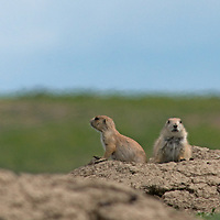 Black-tailed prairie dogs (Cynomys ludovicianus) peek out of their hole on the American Prairie Reserve in Phillips County, Montana.