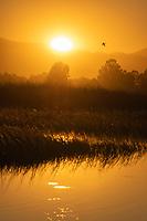 A goose flies at sunset over Sacramento National Wildlife Refuge, California