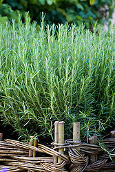 Rosemary growing in a woven willow raised bed. Rosmarinus officinalis