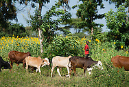 A young farmer shepherds cattle near the Evangelical Lutheran Church in Tanzania – South-East of Lake Victoria Diocese (ELCT-SELVD) Bishop Emmanuel Makala Training Center on Friday, March 13, 2015, in Shinyanga, Tanzania. LCMS Communications/Erik M. Lunsford
