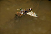 Spectacled Caiman (Caiman crocodilus)<br /> Rainforest<br /> Rewa River<br /> GUYANA. South America<br /> RANGE: Central & South America