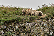 A brown bear sow and her yearling cubs rest on a grassy bluff at the McNeil River State Game Sanctuary on the Kenai Peninsula, Alaska. The remote site is accessed only with a special permit and is the world's largest seasonal population of brown bears in their natural environment.