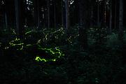 Fireflies (Lamprohiza splendidula) in the woods close to Göhrde, Germany. | Leuchtspur des Kleinen Leuchtkäfers / Glühwürmchen (Lamprohiza splendidula) im Waldgebiet der Göhrde. Die männlichen Leuchtkäfer beginnen mit einbruch der Dunkelheit zu leuchten und stimmulieren damit die flügellosen Weibchen im Gras es ebenso zu tun. So finden sich die Geschlechtspartner zur Paarung. Deutschland