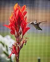 Ruby-throated Hummingbird. Image taken with a Nikon D850 camera and 70-300 mm VR lens.