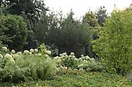 WHITE HYDRANGEA HEDGE