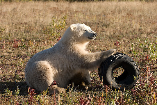 Polar Bear (Ursus maritimus)  a cub plays wtih an old discarded ATV tire outside the fence of a hunting lodge. Hudson Bay,  Manitoba