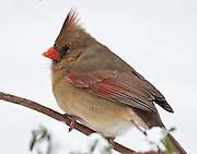 Snow flacks settled briefly on the cardinals back.  She still had snow on her bill from you rooting in the snow below the bush for possible seeds.