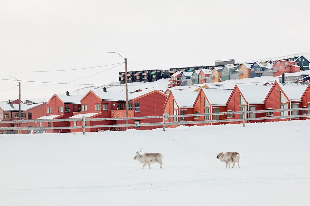 Svalbard reindeer (Rangifer tarandus platyrhynchus) walk past townhouses in Longyeabyen, Svalbard.