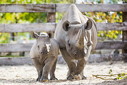© Licensed to London News Pictures. 25/09/2015. Malton, UK. Picture shows baby black Rhino Olmoti excitedly running around his new £1.6m enclosure at Flamingo land after being moved from Zurich with his mother Samira as part of an international breeding programme. Photo credit: Andrew McCaren/LNP