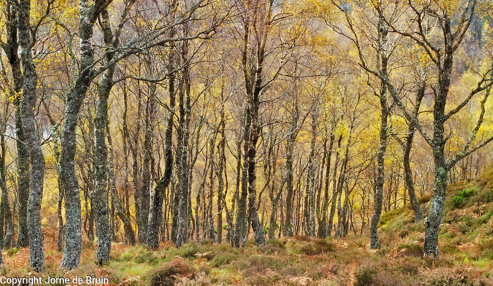 A grove of Birch Trees in autumn in the Cainrgorms National Park, Scotland