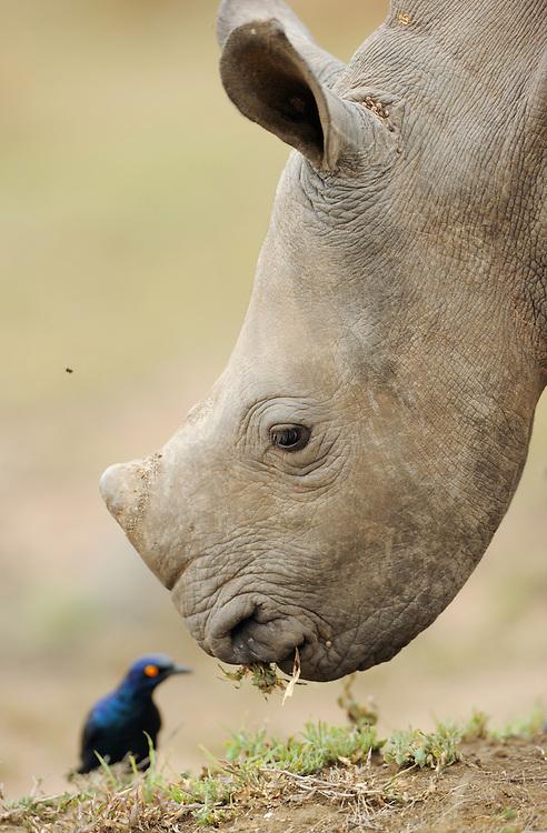 White rhinoceros, Ceratotherium simum,  iMfolozi NP, South Africa