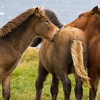 """Three young half-wild """"Hindisvík"""" horses, playing along Route 711 near the bay of Hindisvík."""