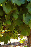 Israel, Judea Hills, Tzora winery and vineyards. A plot of Gewurtzstraminer grapes planted in terra cotta near Shoresh June 2007, 6 weeks before harvest, close up on the unripe grape cluster