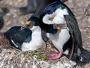 Pair of imperial shags (Phalacrocorax atriceps) nesting at Saunders Island, the Falkland Islands