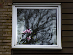 © Licensed to London News Pictures. 20/01/2021. London, UK. An orchid plant is seen at 2nd floor window of a property at West Park in Greenwich, south east London where a man was found fatally stabbed yesterday. Police were called on Tuesday at 12:25 hrs and a 74-year-old man was found suffering from a knife injury, he was pronounced dead at the scene. A 23-year-old male was arrested at the property on suspicion of murder. The deceased and the suspect were known to each other. Photo credit: Peter Macdiarmid/LNP