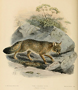 """The corsac fox (Vulpes corsac [Here as Canis corsac]), also known simply as a corsac, is a medium-sized fox found in steppes, semi-deserts and deserts in Central Asia, ranging into Mongolia and northeastern China. From the Book Dogs, Jackals, Wolves and Foxes A Monograph of The Canidae [from Latin, canis, """"dog"""") is a biological family of dog-like carnivorans. A member of this family is called a canid] By George Mivart, F.R.S. with woodcuts and 45 coloured plates drawn from nature by J. G. Keulemans and Hand-Coloured. Published by R. H. Porter, London, 1890"""