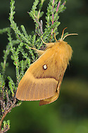 Oak Eggar - Lasiocampa quercus