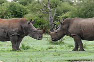 White rhinocerous males have a non-contact standoff. [secret location] Ears are marked for identification. © David A. Ponton