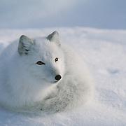 Arctic Fox resting. Canada