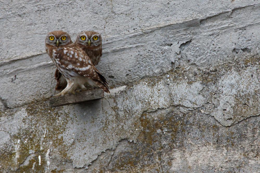 Two Little Owls perching on a concrete dam, Bagerova Steppe, Kerch Peninsula, Crimea, Ukraine